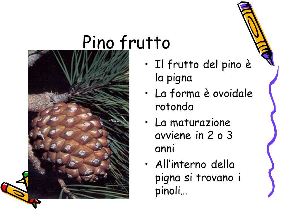 Pino frutto Il frutto del pino è la pigna La forma è ovoidale rotonda