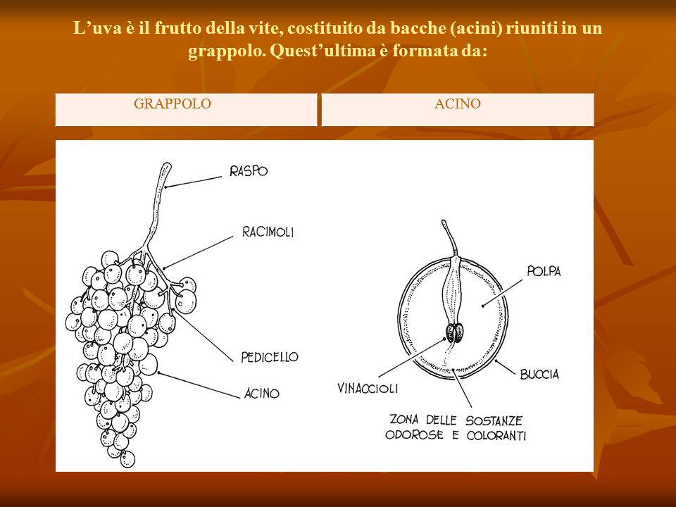 L'uva è il frutto della vite, costituito da bacche (acini) riuniti in un grappolo. Quest'ultima è formata da:
