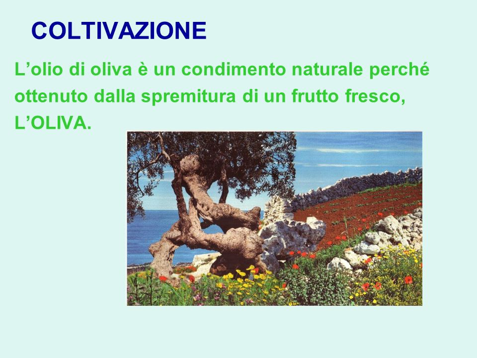 COLTIVAZIONE L'olio di oliva è un condimento naturale perché