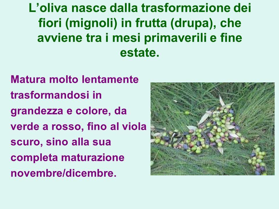 L'oliva nasce dalla trasformazione dei fiori (mignoli) in frutta (drupa), che avviene tra i mesi primaverili e fine estate.