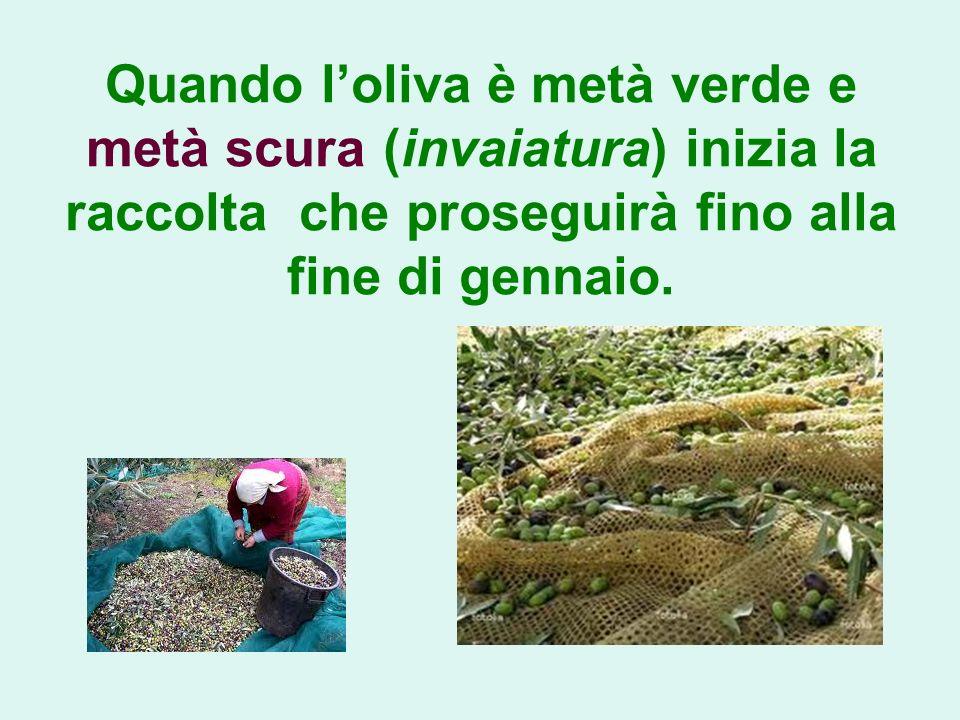 Quando l'oliva è metà verde e metà scura (invaiatura) inizia la raccolta che proseguirà fino alla fine di gennaio.