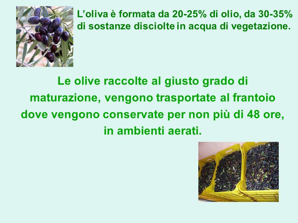 Le olive raccolte al giusto grado di