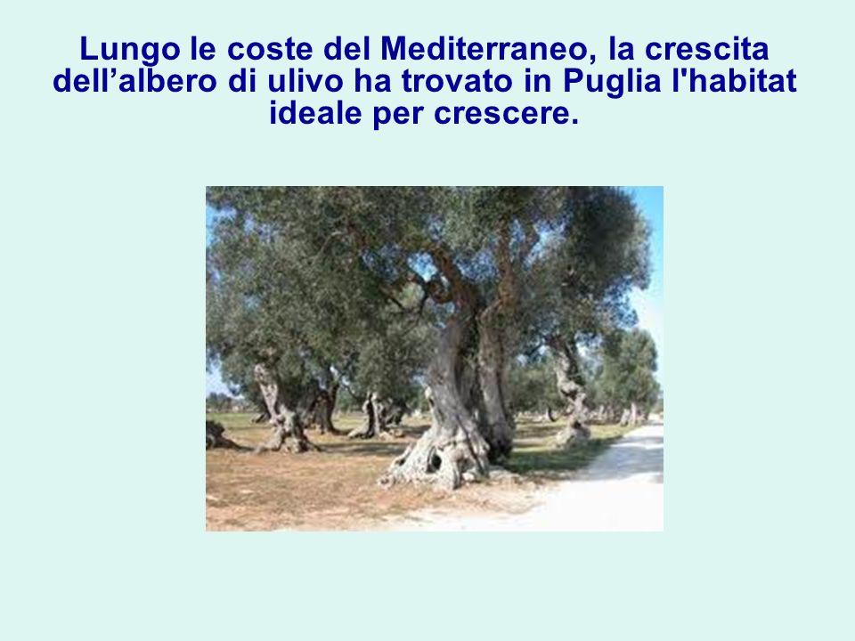 Lungo le coste del Mediterraneo, la crescita dell'albero di ulivo ha trovato in Puglia l habitat ideale per crescere.