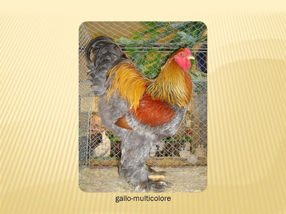 gallo-multicolore
