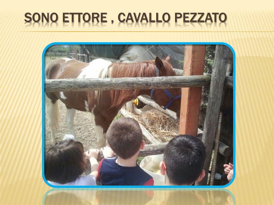 Sono Ettore , Cavallo pezzato