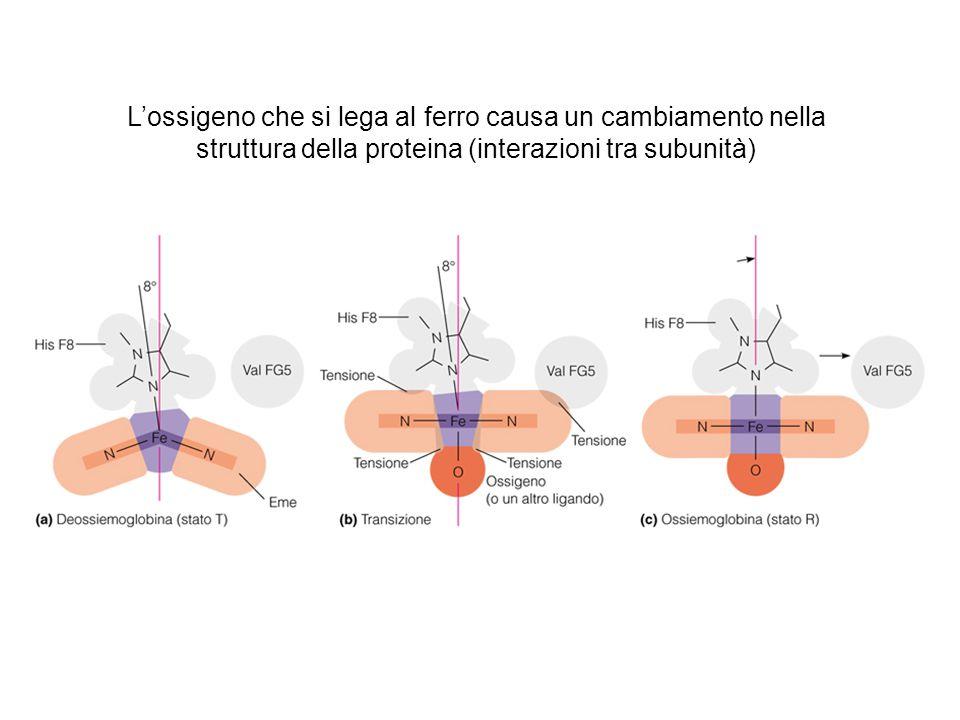 L'ossigeno che si lega al ferro causa un cambiamento nella struttura della proteina (interazioni tra subunità)