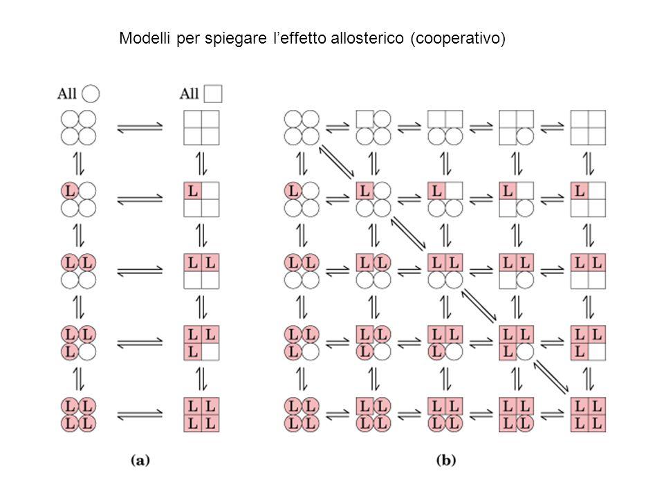 Modelli per spiegare l'effetto allosterico (cooperativo)