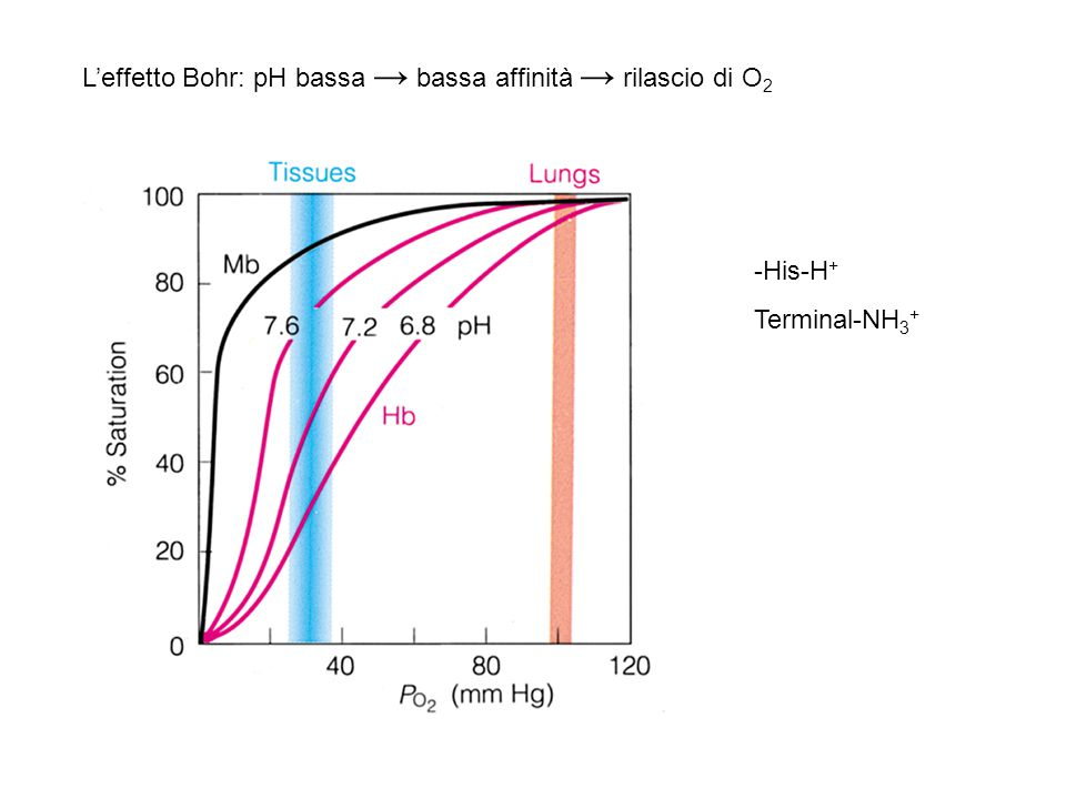 L'effetto Bohr: pH bassa → bassa affinità → rilascio di O2