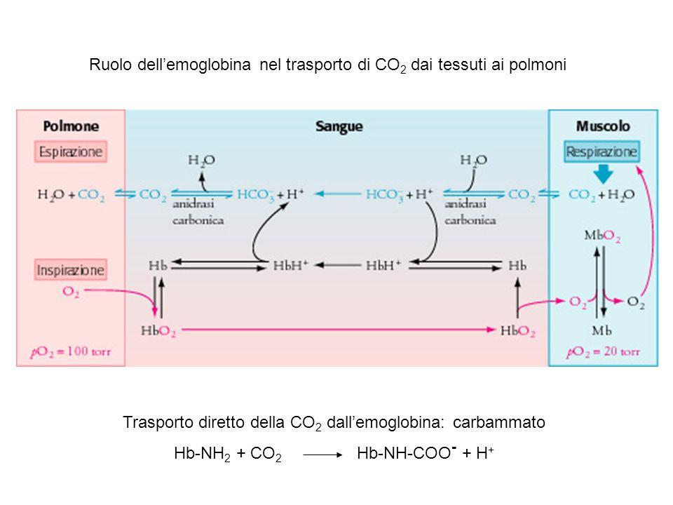 Ruolo dell'emoglobina nel trasporto di CO2 dai tessuti ai polmoni