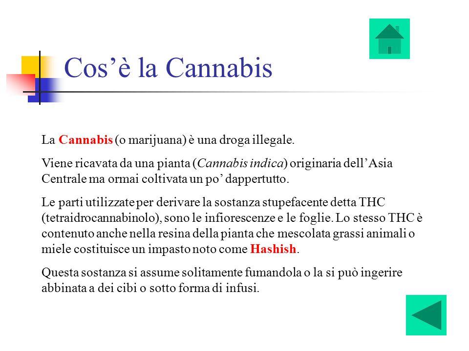 Cos'è la Cannabis La Cannabis (o marijuana) è una droga illegale.