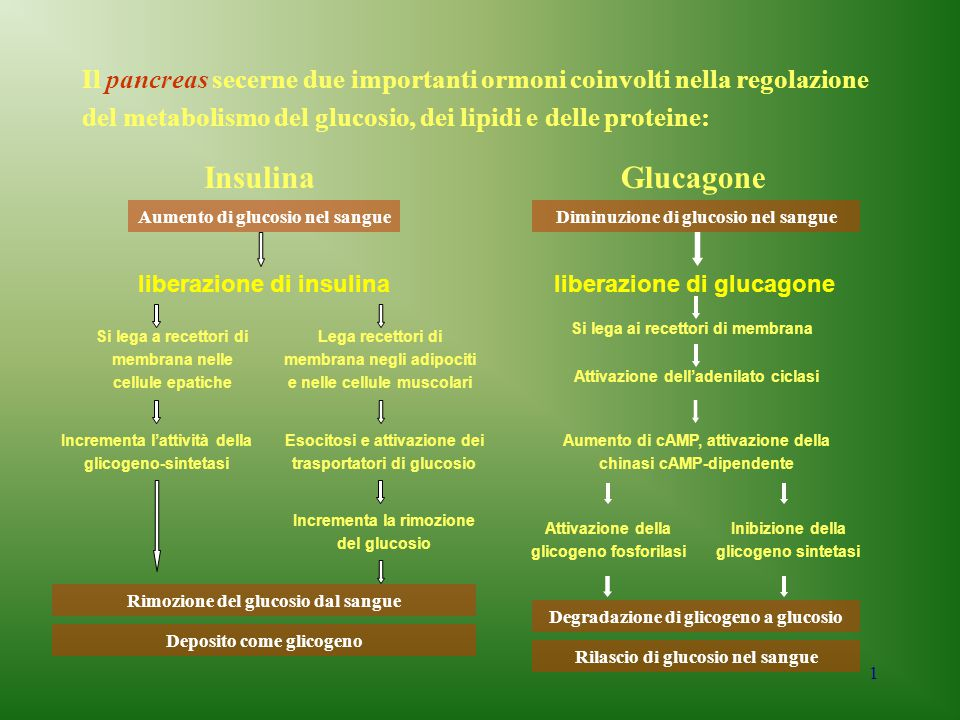 Il pancreas secerne due importanti ormoni coinvolti nella regolazione del metabolismo del glucosio, dei lipidi e delle proteine: