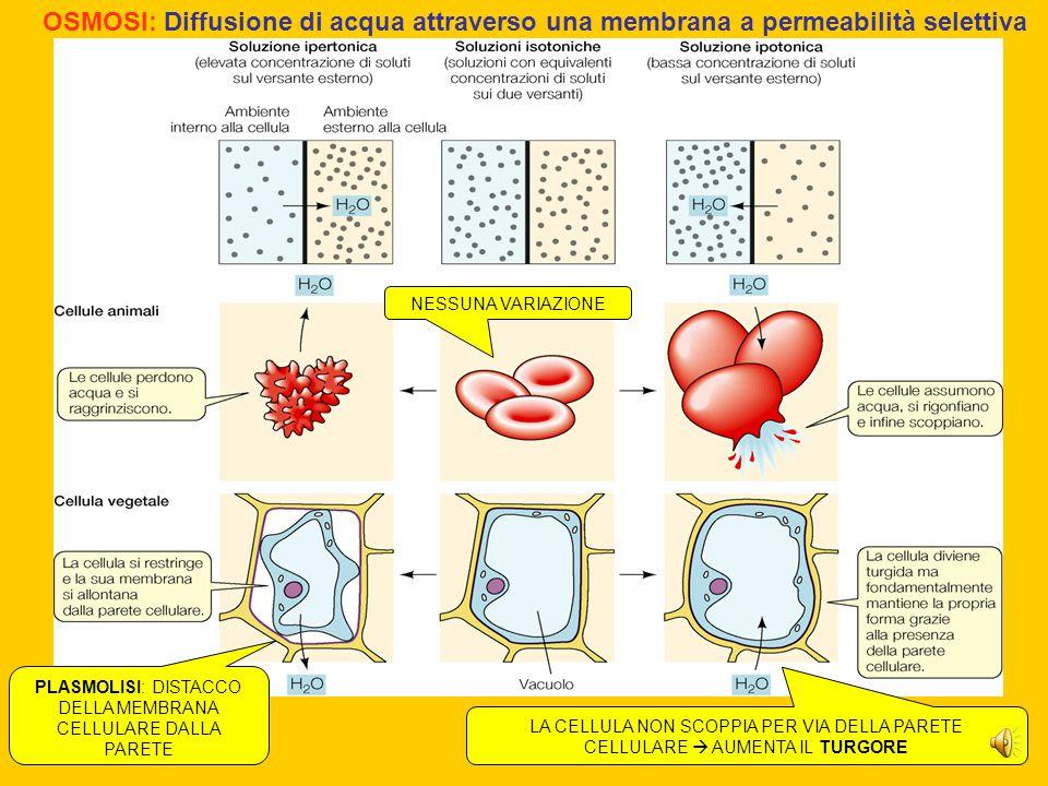 PLASMOLISI: DISTACCO DELLA MEMBRANA CELLULARE DALLA PARETE