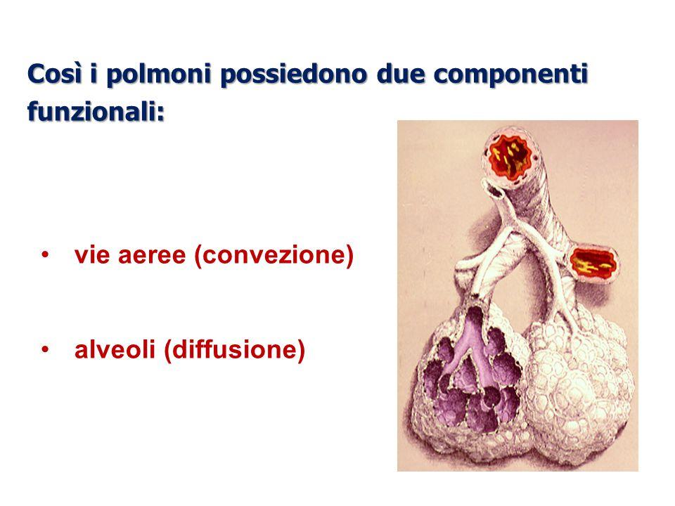 Così i polmoni possiedono due componenti funzionali: