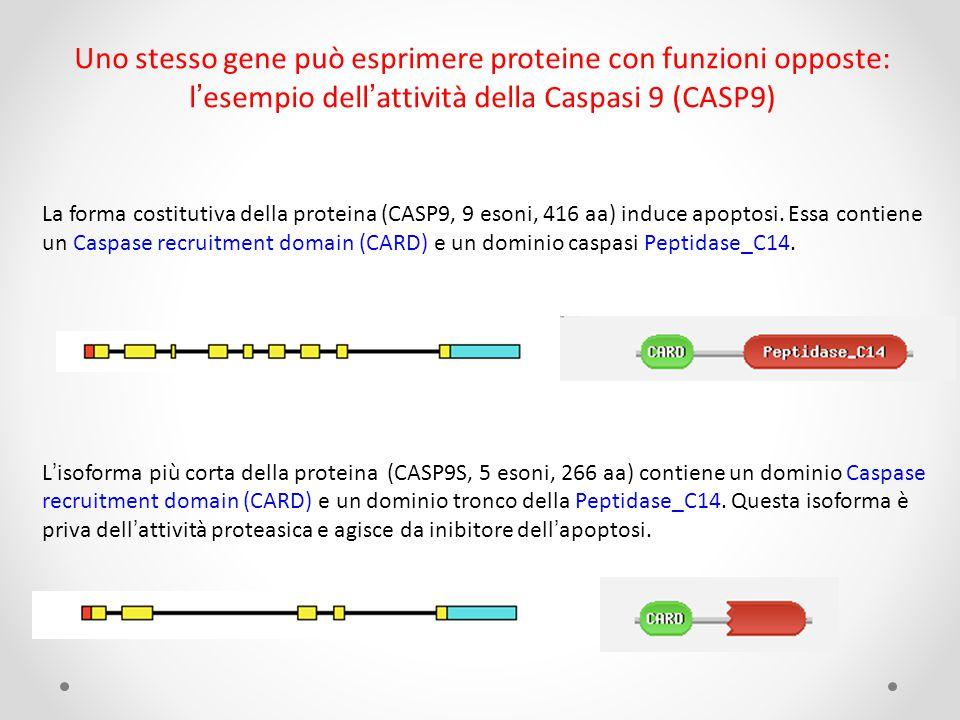 Uno stesso gene può esprimere proteine con funzioni opposte: l'esempio dell'attività della Caspasi 9 (CASP9)