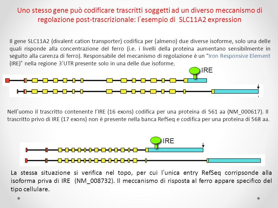 Uno stesso gene può codificare trascritti soggetti ad un diverso meccanismo di regolazione post-trascrizionale: l'esempio di SLC11A2 expression