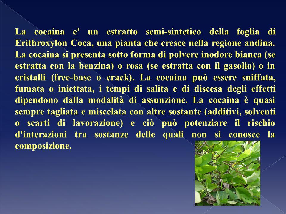 La cocaina e un estratto semi-sintetico della foglia di Erithroxylon Coca, una pianta che cresce nella regione andina.