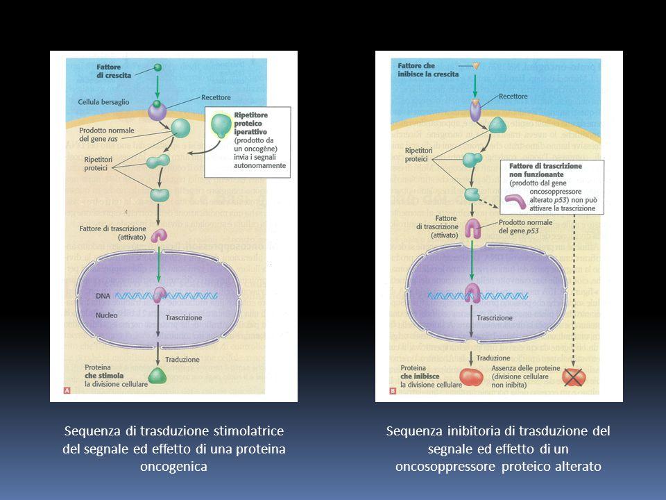Sequenza di trasduzione stimolatrice del segnale ed effetto di una proteina oncogenica