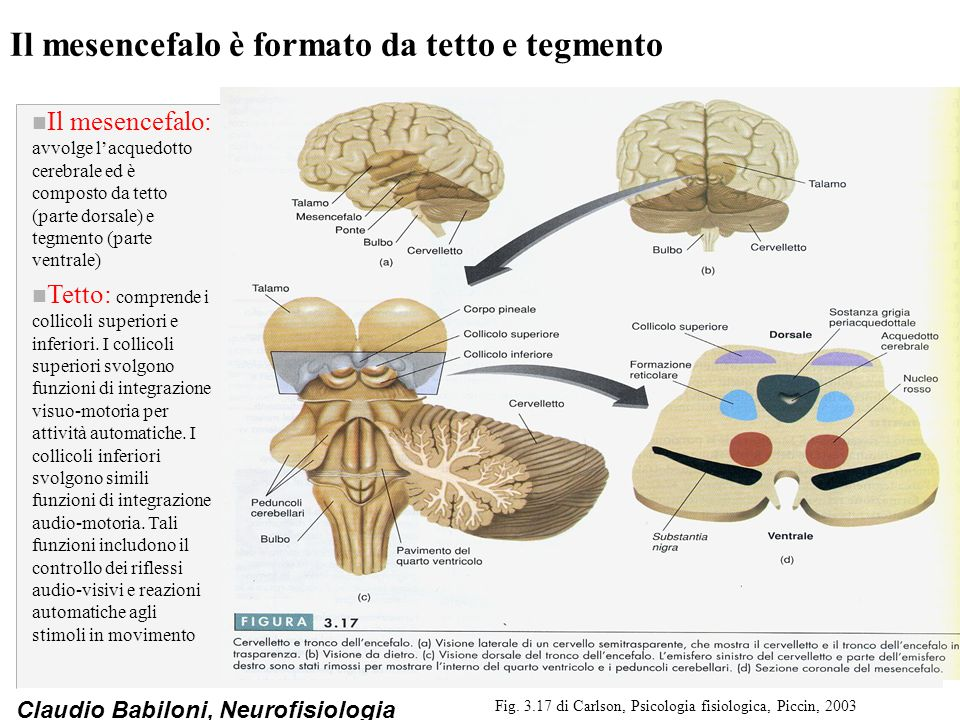 Il mesencefalo è formato da tetto e tegmento