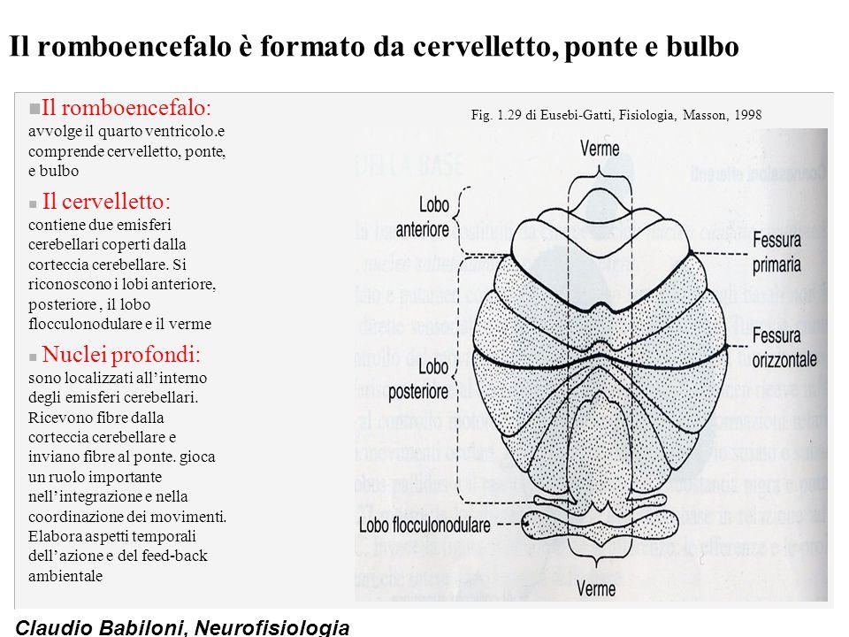 Il romboencefalo è formato da cervelletto, ponte e bulbo