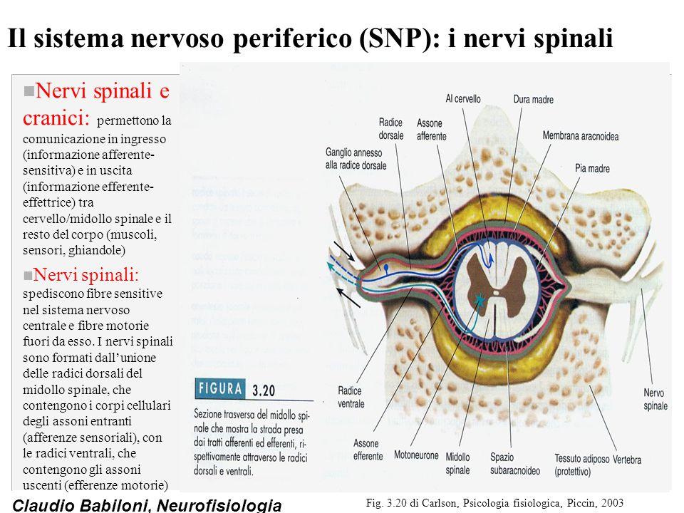 Il sistema nervoso periferico (SNP): i nervi spinali