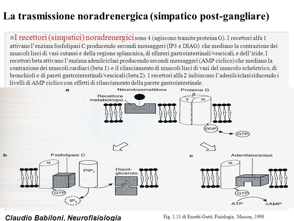 La trasmissione noradrenergica (simpatico post-gangliare)