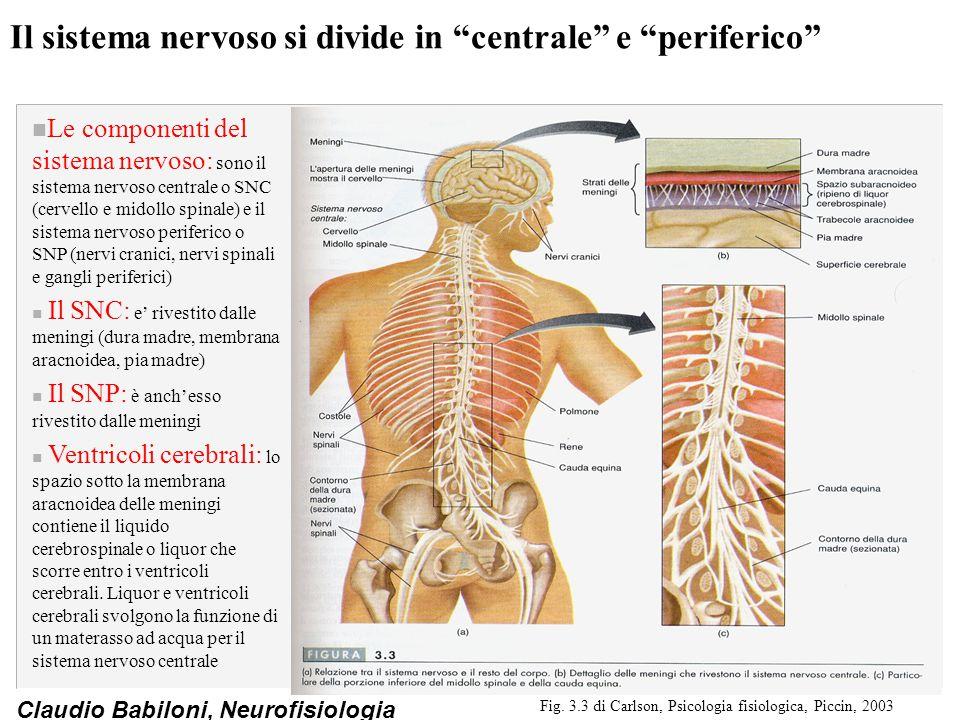 Il sistema nervoso si divide in centrale e periferico
