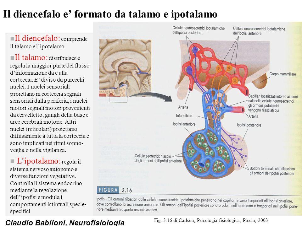 Il diencefalo e' formato da talamo e ipotalamo