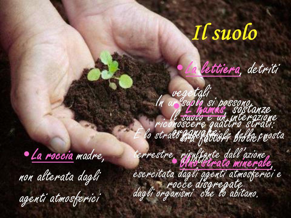 Il suolo L'humus, sostanze organiche La lettiera, detriti vegetali