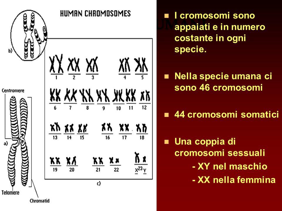 CROMOSOMI UMANI I cromosomi sono appaiati e in numero costante in ogni specie. Nella specie umana ci sono 46 cromosomi.