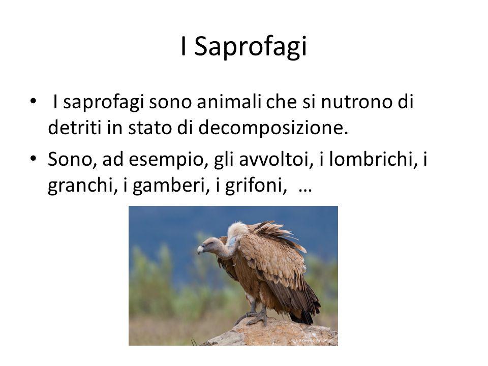 I Saprofagi I saprofagi sono animali che si nutrono di detriti in stato di decomposizione.