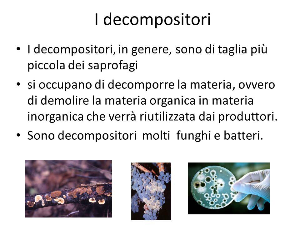 I decompositori I decompositori, in genere, sono di taglia più piccola dei saprofagi.