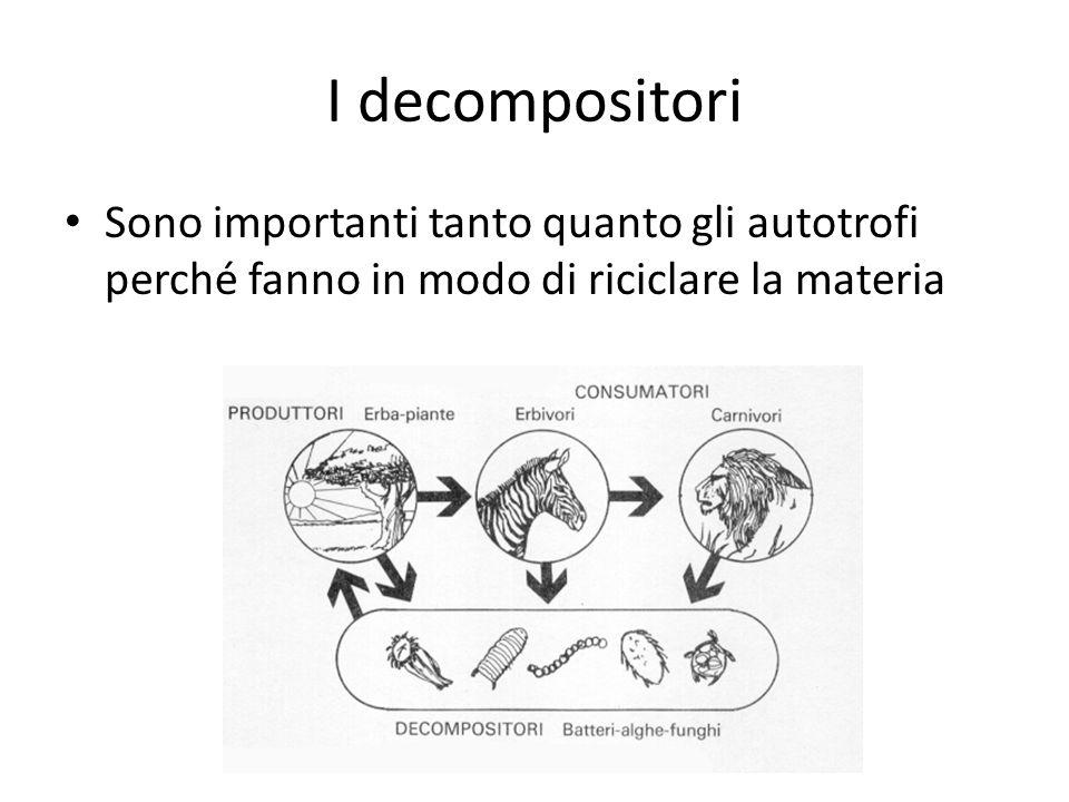 I decompositori Sono importanti tanto quanto gli autotrofi perché fanno in modo di riciclare la materia.