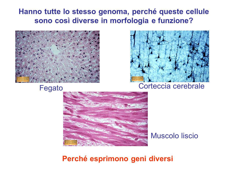Perché esprimono geni diversi