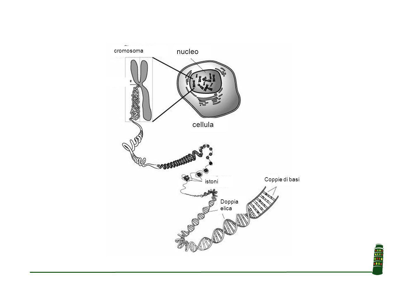 cromosoma nucleo cellula Coppie di basi istoni Doppia elica
