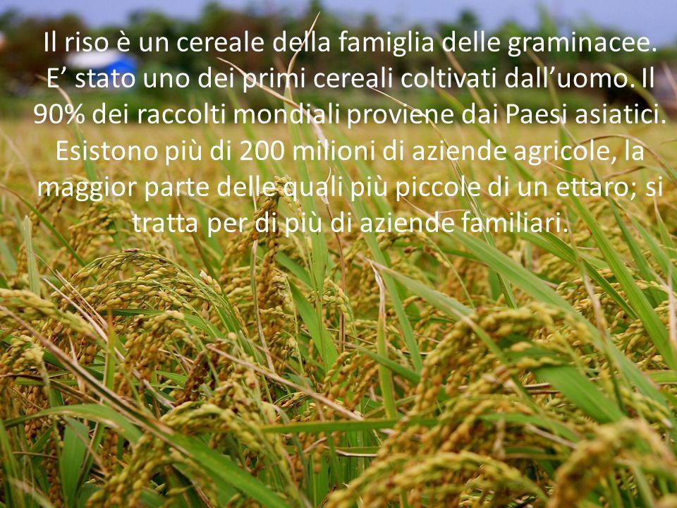 Il riso è un cereale della famiglia delle graminacee