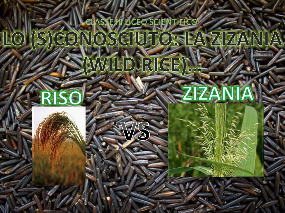 LO (S)CONOSCIUTO: LA ZIZANIA