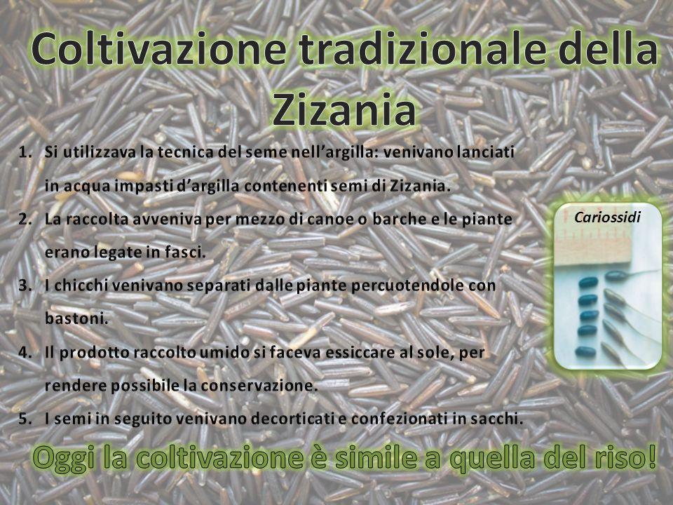 Coltivazione tradizionale della Zizania