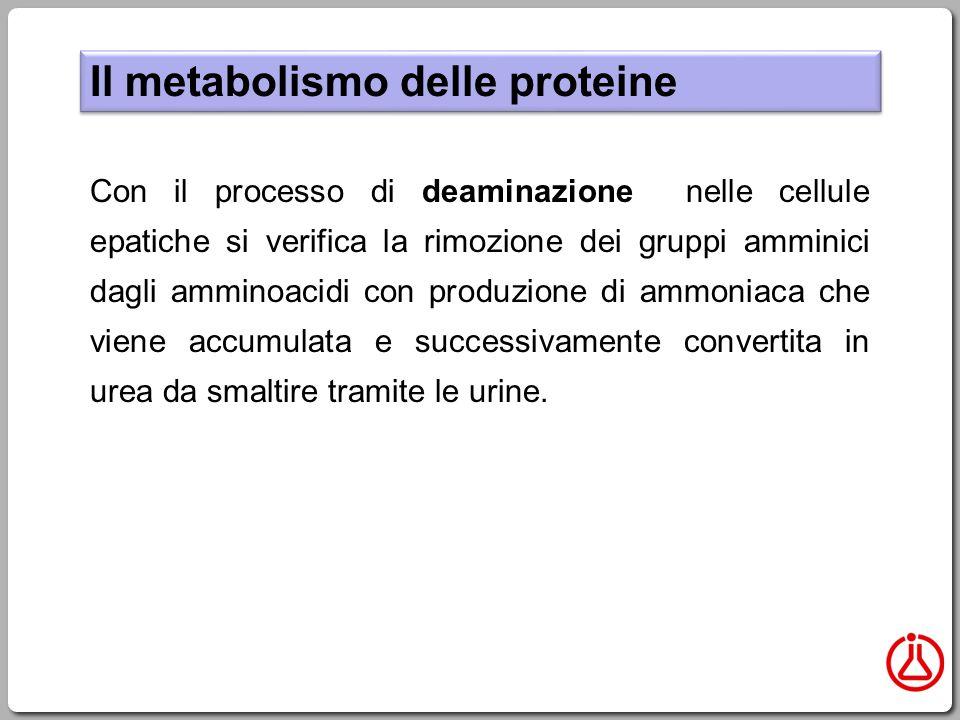 Il metabolismo delle proteine