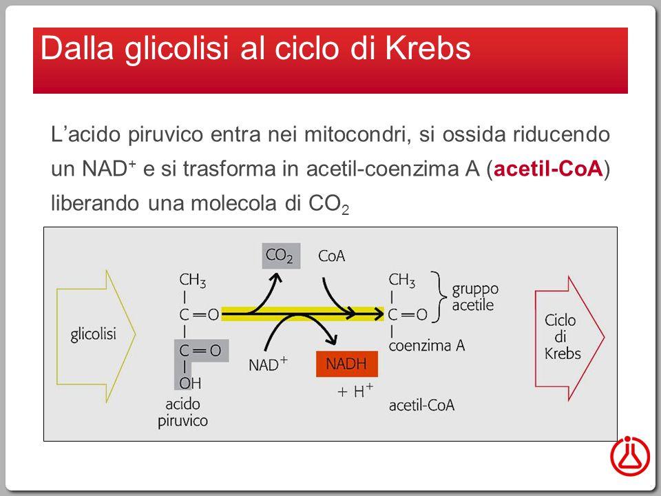 Dalla glicolisi al ciclo di Krebs