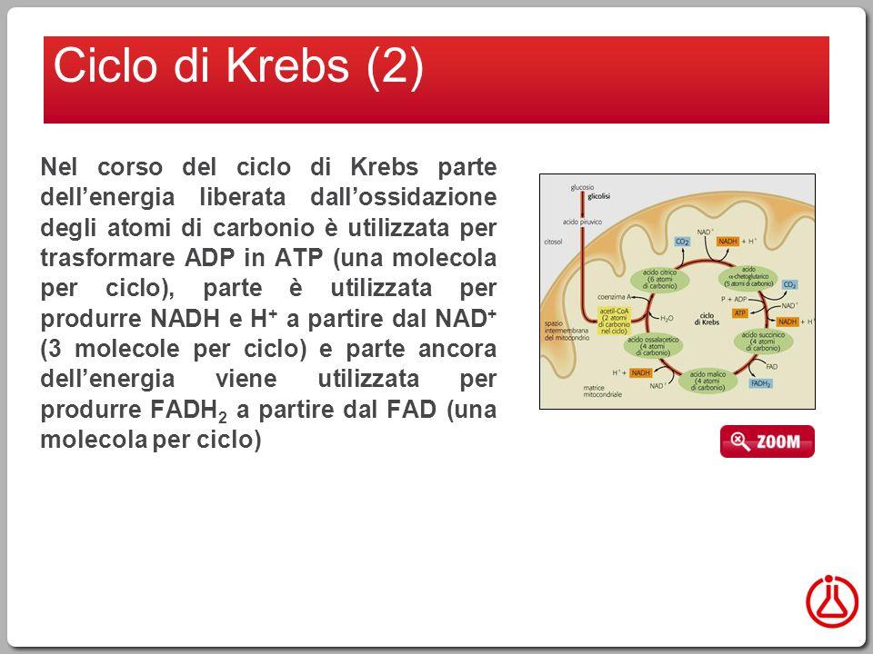 Ciclo di Krebs (2)