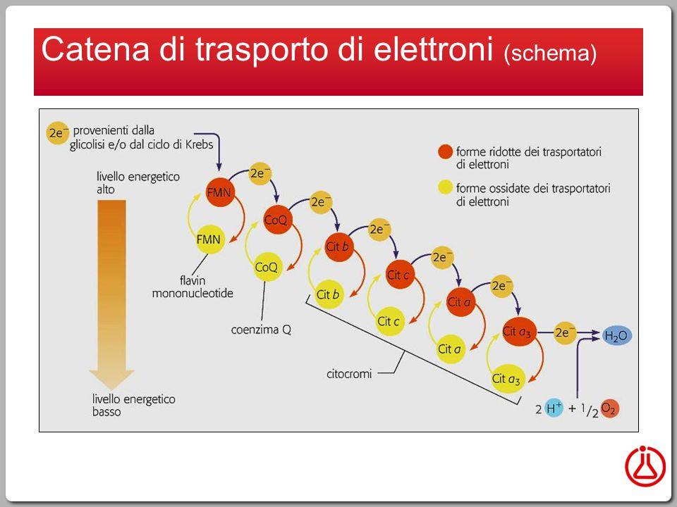 Catena di trasporto di elettroni (schema)