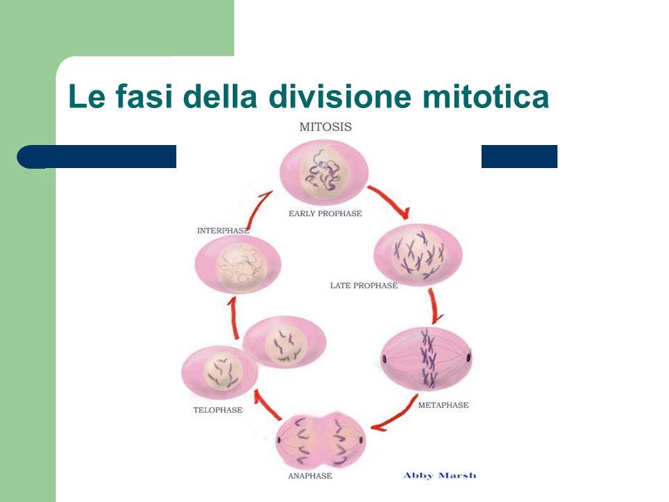 Le fasi della divisione mitotica