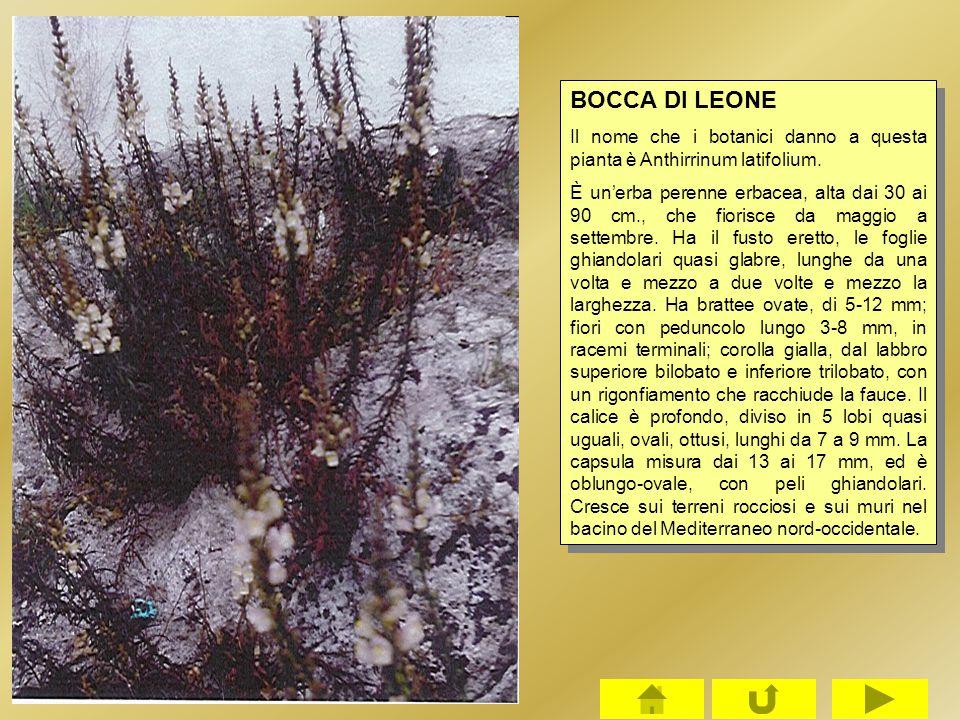 BOCCA DI LEONE Il nome che i botanici danno a questa pianta è Anthirrinum latifolium.