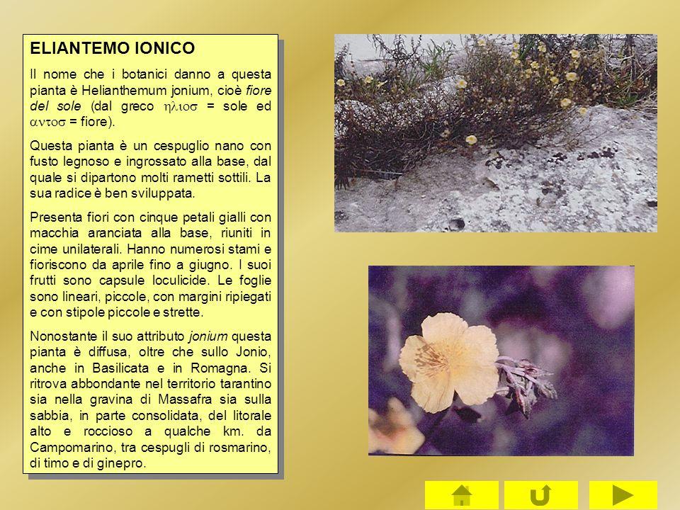 ELIANTEMO IONICO Il nome che i botanici danno a questa pianta è Helianthemum jonium, cioè fiore del sole (dal greco hlios = sole ed antos = fiore).