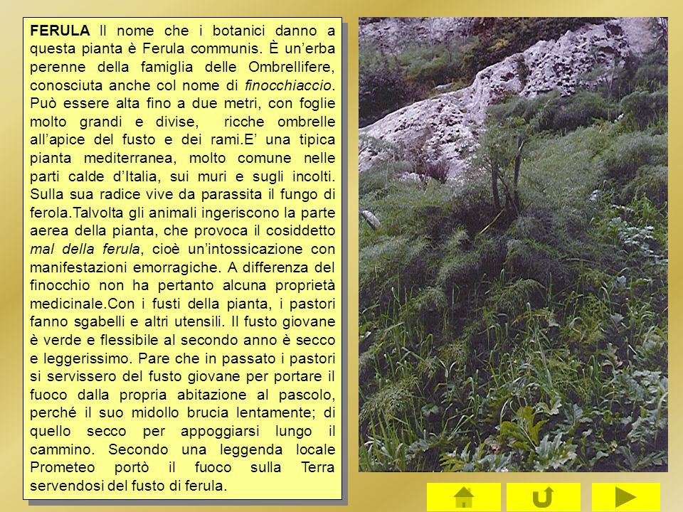 FERULA ll nome che i botanici danno a questa pianta è Ferula communis