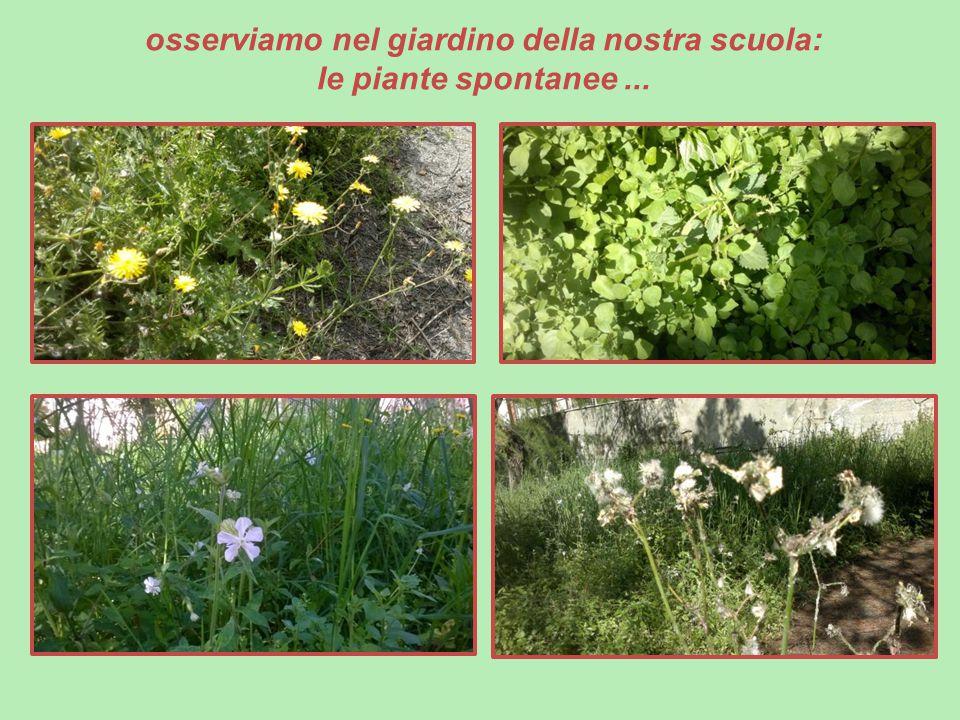 osserviamo nel giardino della nostra scuola: le piante spontanee ...