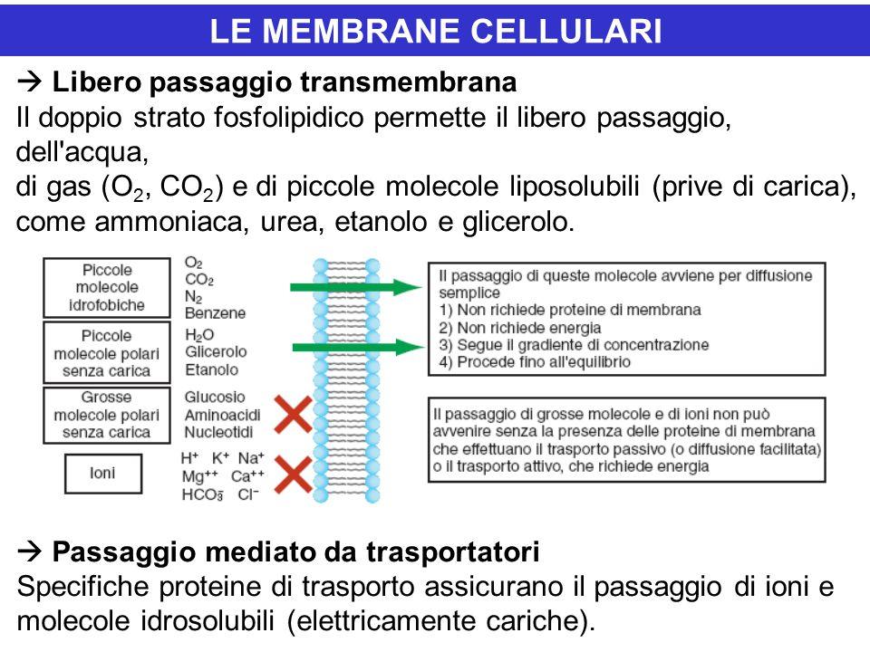 LE MEMBRANE CELLULARI  Libero passaggio transmembrana