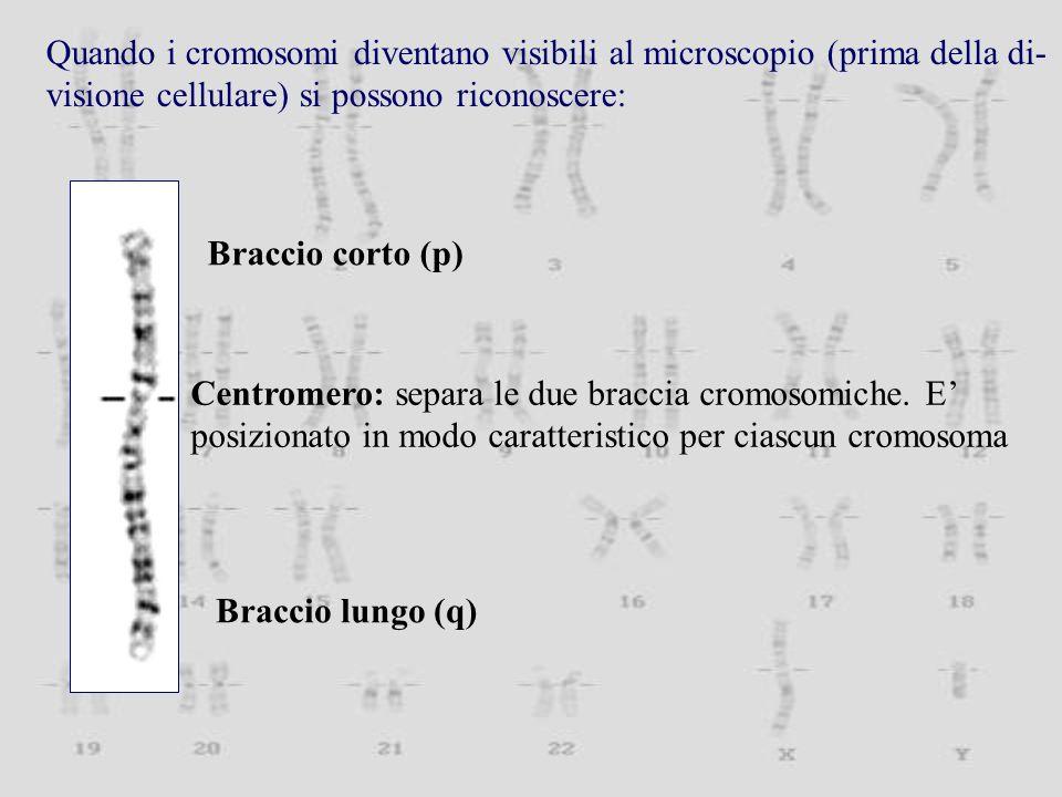 Quando i cromosomi diventano visibili al microscopio (prima della di-