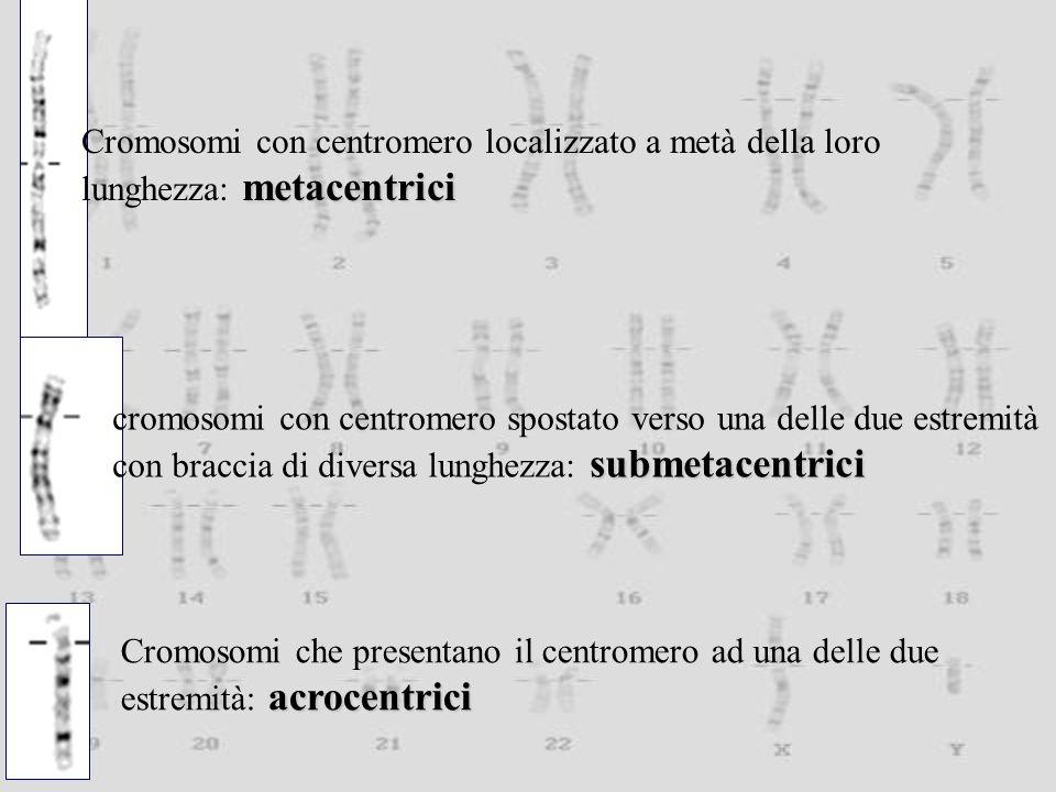 Cromosomi con centromero localizzato a metà della loro