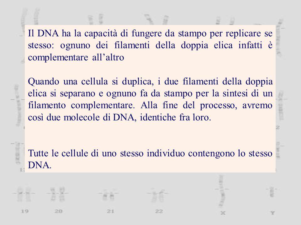 Il DNA ha la capacità di fungere da stampo per replicare se stesso: ognuno dei filamenti della doppia elica infatti è complementare all'altro